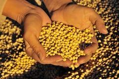 Raccolta della soia Immagini Stock Libere da Diritti
