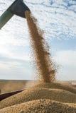 Raccolta della soia Fotografia Stock Libera da Diritti