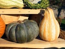 Raccolta della zucca Zucche di Halloween Fondo rustico rurale di autunno con zucca Fotografia Stock