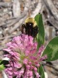 Raccolta delle api e del fiore Immagini Stock Libere da Diritti