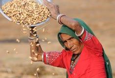 Raccolta delle arachidi fotografia stock