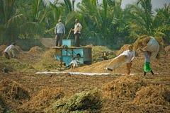 Raccolta delle arachidi nel Gujarat Fotografie Stock Libere da Diritti