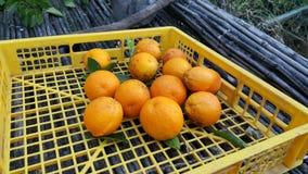 Raccolta delle arance nel campo Immagini Stock Libere da Diritti