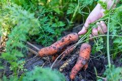 Raccolta delle carote in autunno Fotografie Stock