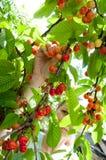 Raccolta delle ciliege bio- Immagine Stock