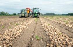 Raccolta delle cipolle su un campo olandese nell'estate Fotografia Stock Libera da Diritti