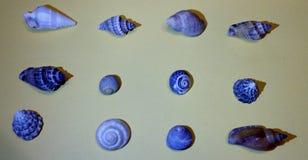 Raccolta delle conchiglie blu Immagine Stock