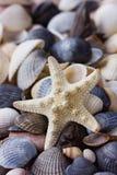 Raccolta delle conchiglie e delle stelle marine Immagine Stock