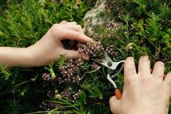Raccolta delle erbe della montagna per tè fotografia stock