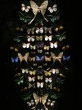 Raccolta delle farfalle Fotografia Stock