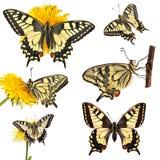 Raccolta delle farfalle di coda di rondine (machaon di Papilio) Fotografie Stock