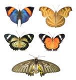 Raccolta delle farfalle isolate Fotografia Stock