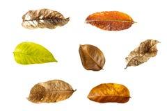 Raccolta delle foglie asciutte Fotografia Stock
