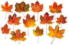 Raccolta delle foglie di acero di autunno Immagini Stock Libere da Diritti