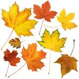 Raccolta delle foglie di acero di autunno, insieme dell'oggetto isolato su bianco Fotografie Stock Libere da Diritti