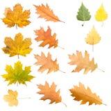 Raccolta delle foglie di acero negli stades differenti di appassimento dell'isolante Fotografia Stock