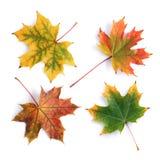 Raccolta delle foglie di acero variopinte di autunno Immagini Stock Libere da Diritti