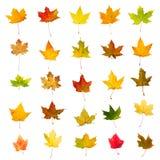 Raccolta delle foglie di autunno Immagini Stock