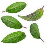 Raccolta delle foglie di menta isolate su fondo bianco Immagine Stock Libera da Diritti