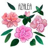 Raccolta delle foglie e dei fiori dell'azalea Fotografia Stock