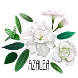 Raccolta delle foglie e dei fiori dell'azalea Immagini Stock