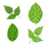Raccolta delle foglie verdi differenti Fotografia Stock