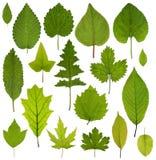 Raccolta delle foglie verdi isolate su fondo bianco Fotografia Stock