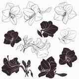 Raccolta delle forme dei fiori di hippeastrum di vettore nella linea per progettazione fotografia stock