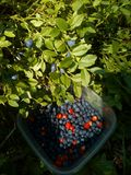 Raccolta delle fragole e dei mirtilli Fotografie Stock