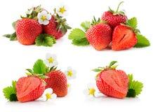 Raccolta delle fragole isolate sui precedenti bianchi Fotografia Stock