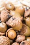Raccolta delle ghiande differenti della quercia Immagine Stock
