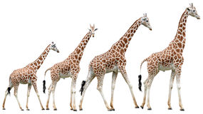 Raccolta delle giraffe isolate in varie pose Fotografia Stock Libera da Diritti