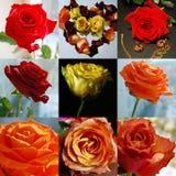 Raccolta delle rose Fotografia Stock Libera da Diritti
