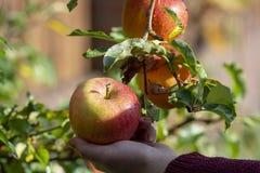 Raccolta delle mele in giardino, stagione del raccolto di autunno nei frutteti di frutta fotografia stock libera da diritti