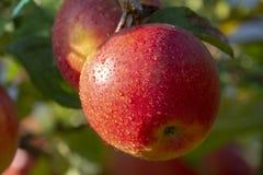 Raccolta delle mele in giardino, stagione del raccolto di autunno nei frutteti di frutta immagini stock