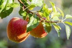 Raccolta delle mele in giardino, stagione del raccolto di autunno nei frutteti di frutta immagine stock libera da diritti