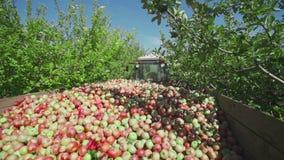 Raccolta delle mele La frutta matura è raccolta in un contenitore di legno video d archivio