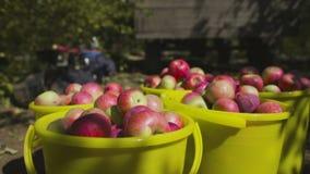Raccolta delle mele La frutta matura è raccolta in un secchio stock footage