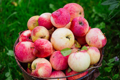 Raccolta delle mele mature in un giardino Fotografia Stock Libera da Diritti
