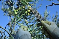 Raccolta delle olive di arbequina in un oliveto in Catalogna, Spai Immagine Stock Libera da Diritti
