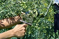 Raccolta delle olive in Spagna Fotografia Stock Libera da Diritti