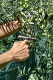 Raccolta delle olive in Spagna Fotografia Stock