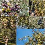 Raccolta delle olive verdi e nere Immagine Stock Libera da Diritti