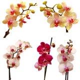 Raccolta delle orchidee Immagine Stock