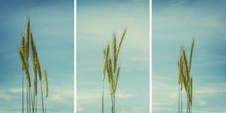 Raccolta delle orecchie del grano isolate sul blu, ciano cielo nuvoloso in sedere Immagini Stock Libere da Diritti