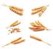 Raccolta delle orecchie e del seme del grano delle foto isolati Fotografia Stock Libera da Diritti