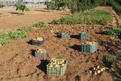 Raccolta delle patate Immagine Stock