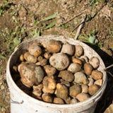 Raccolta delle patate Immagini Stock Libere da Diritti