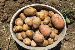 Raccolta delle patate Immagini Stock