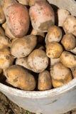 Raccolta delle patate Fotografie Stock Libere da Diritti